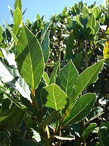 Starr-071024-0195-Laurus nobilis-leaves-Очаровательные цветочные сады Кула-Мауи (24867859296) .jpg