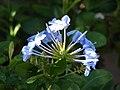 Starr-080103-1247-Plumbago auriculata-flowers-Lowes Garden Center Kahului-Maui (24272473863).jpg