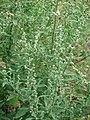 Starr-090426-6379-Chenopodium album-fruit and leaves-Lower Kula Rd Kula-Maui (24834688232).jpg