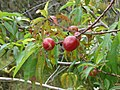 Starr-090514-7839-Prunus persica var nucipersica-fruit and leaves-Kula-Maui (24928985226).jpg