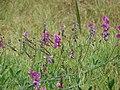 Starr-090519-8033-Lathyrus latifolius-flowers and seedpods-Kula-Maui (24837686212).jpg
