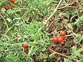 Starr-090707-2310-Solanum lycopersicum-fruiting habit-Waikapu-Maui (24601243739).jpg
