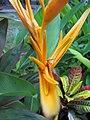 Starr-090730-3394-Heliconia psittacorum-flowers-Honolulu Airport-Oahu (24970685295).jpg