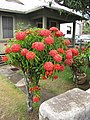 Starr-090806-3840-Ixora sp-flowering habit-Wailuku-Maui (24675889550).jpg
