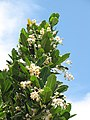 Starr-090806-3894-Calophyllum inophyllum-flowers and leaves-Maui Arts and Cultural Center Kahului-Maui (24971550875).jpg