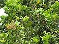 Starr-090806-3963-Cupaniopsis anacardioides-fruit and leaves-Wailuku-Maui (24853686802).jpg