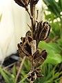 Starr-091222-1017-Aloe massawana-seed capsules dehisced-Honokanaia-Kahoolawe (24875012822).jpg