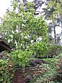 Starr-110307-2123-Pimenta dioica-habit-Kula Botanical Garden-Maui (24450779963).jpg