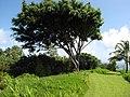 Starr-110330-4048-Ficus benjamina-habit-Garden of Eden Keanae-Maui (25054816556).jpg