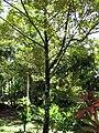 Starr-110330-4078-Chrysophyllum cainito-habit-Garden of Eden Keanae-Maui (25054859496).jpg