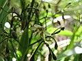 Starr-110411-4937-Dianella sandwicensis-flower form sandwicensis-Hawea Pl Olinda-Maui (25082507435).jpg