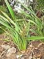 Starr-110411-5030-Dianella sandwicensis-flowering and fruiting habit form lavarum-Hawea Pl Olinda-Maui (25082634825).jpg
