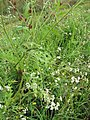 Starr-110503-5486-Parthenium hysterophorus-flowering habit-Kula-Maui (25001524171).jpg