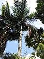 Starr-120522-6174-Syagrus amara-habit-Iao Tropical Gardens of Maui-Maui (24512592914).jpg