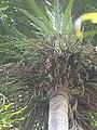 Starr-120522-6439-Dictyosperma album -flowers-Iao Tropical Gardens of Maui-Maui (25117373226).jpg