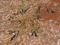 Starr-120702-7899-Cenchrus purpureus x glaucum-Hoolehua PMC hybrid Pearl Millet x banagrass purple var from previous planting-USDA Plant Materials Center-Molokai (24818530079).jpg