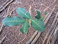 Starr-130319-3155-Cupaniopsis anacardioides-sapling-Kilauea Pt NWR-Kauai (24581930083).jpg