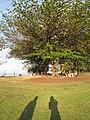 Starr-130320-3518-Terminalia catappa-habit with Forest and Kim shadows-Anini Beach-Kauai (25091026142).jpg