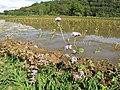 Starr-130322-3765-Ageratum houstonianum-flowering habit-Hanalei NWR-Kauai (24578822994).jpg