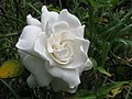 Starr-130411-1936-Gardenia augusta-flower-Pololei Haiku-Maui (24583108033).jpg