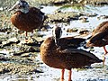 Starr-130911-0984-Cyperus laevigatus-habit with Laysan Ducks-E Lake-Laysan (24927644480).jpg