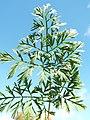 Starr-131216-2793-Daucus carota subsp sativus-leaves-Hawea Pl Olinda-Maui (25135317221).jpg