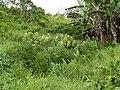 Starr-140222-0362-Touchardia latifolia-habit-Hana Hwy-Maui (24944577230).jpg