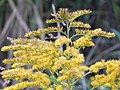 Starr-140930-2063-Solidago canadensis-flowers-Keokea-Maui (24616145394).jpg