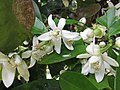 Starr-150301-0356-Citrus sinensis-Washington navel flowers-Hawea Pl Olinda-Maui (24638372803).jpg