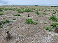 Starr-150403-1409-Brassica juncea-habit lots of dead nohu-Southeast Eastern Island-Midway Atoll (24982019240).jpg