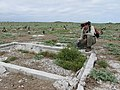 Starr-170620-9496-Setaria verticillata-with Forest old structures and Laysan Albatross chicks abandoned runway-East Central Eastern Island-Midway Atoll (35647666463).jpg