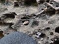 Starr-180421-0024-Thespesia populnea-Hyposmocoma burrito shape larva case on coastal rocks-Honolua Lipoa Point-Maui (43458518731).jpg