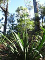Starr-180903-5294-Agapanthus praecox subsp orientalis-white flower variety view trails-Hawea Pl Olinda-Maui (44596794112).jpg