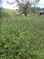 Starr 040527-0023 Macroptilium lathyroides.jpg