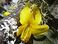 Starr 040723-0431 Sophora chrysophylla.jpg