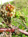 Starr 051123-5455 Rubus discolor.jpg