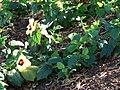 Starr 061206-1931 Hibiscus ovalifolius.jpg