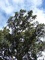 Starr 070111-3292 Syzygium cumini.jpg