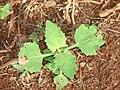 Starr 070208-4373 Sigesbeckia orientalis.jpg