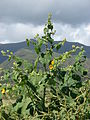 Starr 070215-4590 Abutilon grandifolium.jpg