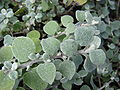 Starr 070906-8467 Helichrysum petiolare.jpg