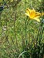 Starr 071024-0059 Hemerocallis sp..jpg