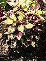 Starr 071024-0066 Solenostemon scutellarioides.jpg