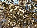 Starr 071225-0690 Prosopis glandulosa.jpg