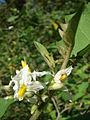 Starr 080601-5133 Solanum torvum.jpg