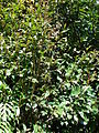 Starr 090213-2435 Syzygium cumini.jpg