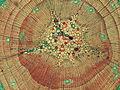 Stem of first-year Pinus taiwanensis (Taiwan Red Pine) - Cross section microscopic image (detail).jpg