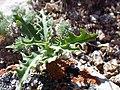 Stephanomeria runcinata (7352613254).jpg