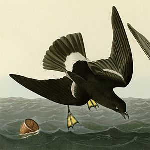 The Song of the Stormy Petrel - Stormy Petrel, painted by John James Audubon