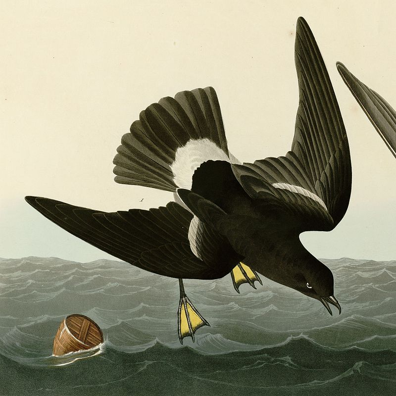https://upload.wikimedia.org/wikipedia/commons/thumb/a/a2/Stormy_Petrel.jpg/800px-Stormy_Petrel.jpg
